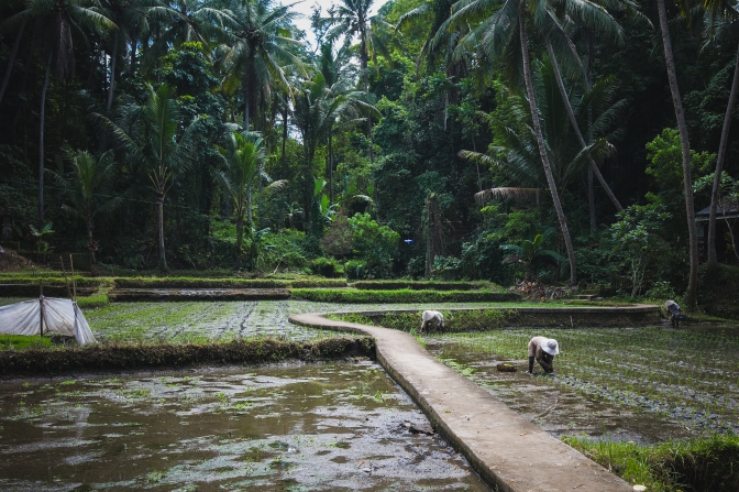 Rice paddies in Bali, Indonesia